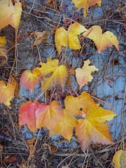 Enredadera (Ana_1965_2010) Tags: autumn naturaleza brown macro hoja leave nature leaves closeup hojas leaf natur natura otoo makro marron ocre enredadera macrofotografia otoal makrofotografie fotografiadenaturaleza hojarazca anawilli
