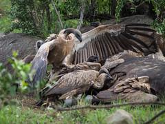 vulture (cosmonaut576) Tags: vulture geier imfolozi southafrica