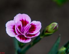 Mini Anjer (edvk49) Tags: flower flowers bloem bloemen natuur nature macro stiillife