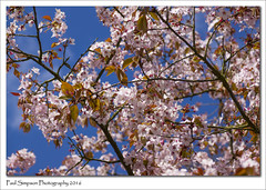 Pink Blossom (Paul Simpson Photography) Tags: uk trees tree nature leaves branches bluesky naturalworld newlife lovelyday blossomtree pinkblossom photosof imageof photoof imagesof sonya77 paulsimpsonphotography april2016 spring2016 photosofblossom