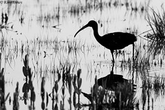 Glossy Ibis (Plegadis falcinellus) - Cape May, New Jersey (Kim Toews Photography) Tags: blackandwhite bw reflection bird nature water monochrome animal newjersey outdoor wildlife nj capemay glossyibis plegadisfalcinellus canon400mmf56