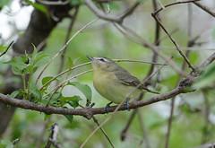 Philadelphia Vireo (av8s) Tags: ohio nature birds photography nikon wildlife sigma oh songbirds vireo perchingbirds philadelphiavireo mageemarsh d7100 120400mm