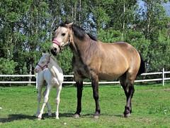 Close (IMG_3523) (akedanerek) Tags: horses mare foal