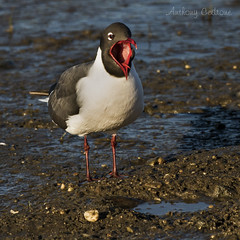 Laughing Gull - Edwin B. Forsythe National Wildlife Refuge, Oceanville, New Jersey (redforester) Tags: bird nature outdoors newjersey sand wildlife gull tounge mudflat galloway pepples oceanville anthonycedrone