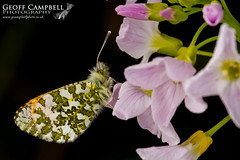 Orange-tip on Lady's Smock (gcampbellphoto) Tags: flower macro nature butterfly insect flora wildlife wildflower floraandfauna cardaminepratensis cuckooflower orangetip anthochariscardamines gcampbellphoto layssmock