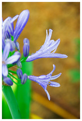 Lily of the Nile (* Little Jerry *) Tags: flower lily purple outdoor violet nile agapanthus