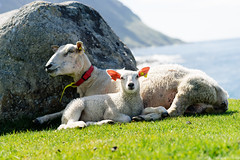 DSC05579.jpg (iheresss) Tags: sheep f14 sony 85mm lofoten carlzeiss eggum planart a7r