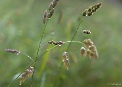 PPP - S24 : ... Et autres plaisirs minuscules (odilecuvit) Tags: nature eau pluie vert gouttes epis minuscule mouill averse dlicatesse gouttelettes dlicat