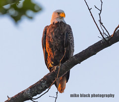 Bald Eagle at sunset (Mike Black photography) Tags: new blue sky white black bird mike nature june canon river lens shark is big day eagle body year birding bald nj atlantic shore jersey l usm juvenile fathers f40 2016 juvie 600mm 5ds