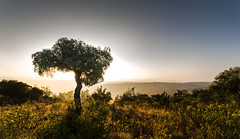 Perfect morning (Sheldrickfalls) Tags: sunrise southafrica cabbagetree mpumalanga escarpment lydenburg cussoniaspicata kuduranch kuduprivatenaturereserve kudugameranch