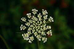 Wild Carrot (roadside wildflower) - Northwest Arkansas (danjdavis) Tags: flower whiteflower arkansas wildflower queenanneslace wildcarrot whitewildflower