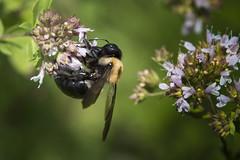 Large Bee - 061916-130836 (Glenn Anderson.) Tags: bee bokeh flight nectar flower petal nature nikon plant blossom outdoor wild flowers landscape field depth bright serene animal