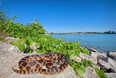 Eastern Fox Snake (Nick Scobel) Tags: nature pine angle snake michigan wide fox eastern elaphe pantherophis gloydi