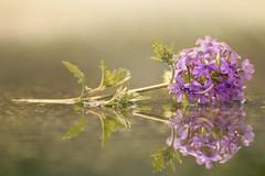 Fallen Angel (charhedman) Tags: flower macro water leaves reflections puddle bokeh raining