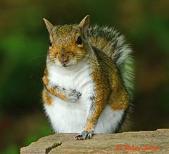 Squirrel (wok smuggler) Tags: animal squirrel outdoor stover sigma150500 nikonnaturephotography nikond7100