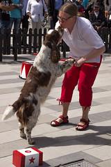 Kiss! (Yvonne L Sweden) Tags: dog dogs sweden hund springerspaniel arlo eskilstuna hundar 160622 fristadstorget hundshow sommartorget