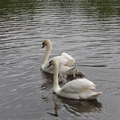 Harmony of the Lakes (Reinardina) Tags: england lake bird nature water animal parents spring swan outdoor wildlife young hampshire lakeside harmony cygnets eastleigh aquaticbird lakesidecountrypark harmonyofthelakes