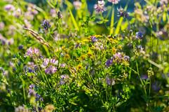 blhender Sonnenschein (JBsLightAndShadow) Tags: flowers summer flower field sunshine nikon blossom sommer feld felder sunny blumen bloom fields heidelberg blume blte sonnig sonnenschein blhen nikond3300 d3300