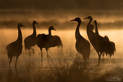 The shadows (lookashG) Tags: morning orange sun bird nature water pool birds animal animals fauna backlight sunrise dawn wildlife natura aves animalia woda sunup daybreak poranek rano soce 300mmf28 ptak ranek ptaki rearlight pomaraczowy commoncrane grusgrus wschd zwierzta uraw breakofday pomaracz wschdsoca wit portretrodowiskowy podwietlenie rozlewisko urawszary urawzwyczajny urawpopielaty lookashggmailcom portraitofenvironmental ukaszgwidziel tylnewiato zaranie sonyilca77m2