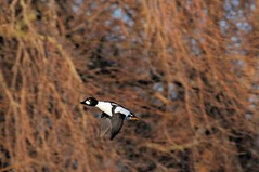 2016 Common Goldeneye In Flight 6 (DrLensCap) Tags: park chicago bird robert harbor duck illinois flight il lincoln montrose fowl common kramer goldeneye in