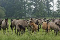 Mustangs and Wild Horses - 2016-0025_Web (berni.radke) Tags: horse pony mustang pferd nordrheinwestfalen colt wildhorse foal fohlen croy herde dlmen feralhorses wildpferdebahn merfelderbruch merfeld przewalskipferd wildpferd dlmenerwildpferd equusferus wildpferdefang dlmenerpferd dlmenpony herzogvoncroy wildhorsetrack
