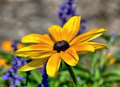 Gathering in The Sunlight (Vidterry) Tags: rudbeckia garden public gardens