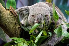 Koala (John Greg Jr) Tags: ohio usa animals zoo unitedstates cleveland koala mammals marsupials clevelandmetroparkszoo camera:make=nikoncorporation exif:make=nikoncorporation exif:aperture=56 camera:model=nikond7100 exif:model=nikond7100 exif:lens=1803000mmf3556 exif:isospeed=5000 exif:focallength=210mm