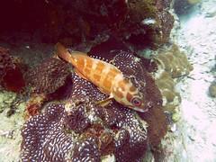 Koh Tao (Scuba Diving), Thailand (Jan-2016) 14-076 (MistyTree Adventures) Tags: ocean sea fish water coral thailand twins marine asia seasia underwater outdoor diving scubadiving kohtao gulfofthailand panasoniclumix