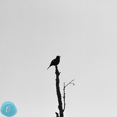 BirdID LT 2016 Vilnius (_alcedo_) Tags: nature birds turdusmerula lithuania biodiversity songbirds migrant breeder eurasianblackbird passerines wintering borisbelchev vubotanicalgarden wwwalcedowildlifecom t2p6 birdwatchinglithuania
