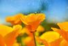 Orange wave (C-Smooth) Tags: flowers orange nikon wave poppies californianpoppy papaveri eschscholziacalifornica papaverodellacalifornia csmooth d3100 stefanocabello