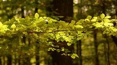 Horizontally & vertically (pszcz9) Tags: las light tree nature forest leaf branch bokeh sony poland polska a77 wiato przyroda li drzewo beautifulearth ga