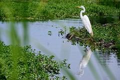 Egret and Pal (brev99) Tags: blur reflection green nature water pond bokeh marsh egret whitebird d7100 topazdenoise topazdetail tamron70300vc highqualityanimals