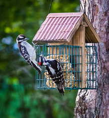 Downy See, Downy Do (Wild Birdy) Tags: mn minnesota usa aba laporte hubbard kabekona copper bird birds avian birdfeeder feeder suet munch eating baby cute adorable bokeh spring little immature juvenile young family parent tree green