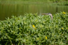 (No one Yelled) Duck! (brev99) Tags: bird nature water pond bokeh head ngc beak greatblueheron d7100 tamron70300vc highqualityanimals