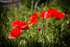 Papaveri (Matteo Scardino) Tags: canon canon70d 70d 18135 pessanoconbornago pessano papaveri rossi papaverirossi red fiori flowers flower fiore verde green