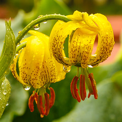 Turk-cap Lily (jac.photography49) Tags: