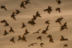 Murmuration (Tim Melling) Tags: starling murmuration west yorkshire timmelling sturnusvulgaris