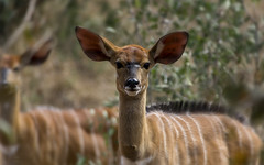 All Is Still (philnewton928) Tags: africa wild nature animal southafrica mammal outdoors nikon natural outdoor wildlife safari antelope animalplanet krugernationalpark kruger nyala pundamaria tragelaphusangasii femalenyala nyalaantelope d7200 nikond7200