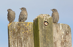 Baby Blues (Hockey.Lover) Tags: baby birds juvenile theblues westernbluebird garinregionalpark
