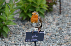 Think il Perch Right Here (Elaine 55.) Tags: robin garden alpine nationaltrust bodnantgardens