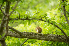 A quiet meal (bprice0715) Tags: trees green nature beautiful beauty animal canon outdoors spring squirrel naturephotography babysquirrel beautyinnature canoneos5dmarkiii canon5dmarkiii