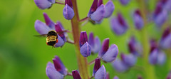 jun22 2016 1 (Delena Jane) Tags: canada closeup newfoundland bug insect inflight ngc bee lupine pentaxart delenajane