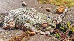 botanical garden (SqueakyMarmot) Tags: travel asia frog malaysia borneo botanicalgarden sabah 2016 kinabalunationalpark