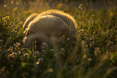 Golden one (nenadlatkovic) Tags: golden one retriver puppy nature sunset light nikond5200 18105vr grass flower rimlight