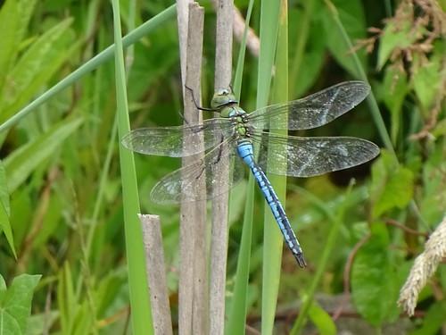 Große blaue Libelle , NGIDn1761833516