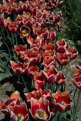 DSC_3937 (Copy) (pandjt) Tags: ca flowers canada bc britishcolumbia tulip abbotsford tulipfestival abbotsfordtulipfestival
