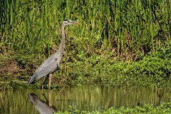 Less Reflection (brev99) Tags: reflection bird water grass pond ngc greatblueheron tallgrass d7100 topazclarity tamron70300vc highqualityanimals