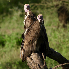 Hooded Vulture - Vautour charognard (charbonjoh) Tags: tanzania lakendutu hoodedvulture vautourcharognard necrosyrtesmonachus largebirds