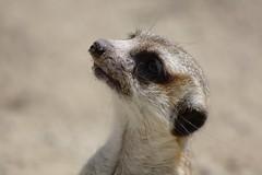Meerkat, close up (III) (dididumm) Tags: sky sunshine closeup meerkat watching himmel nahaufnahme suricate sonnenschein suricatasuricatta erdmnnchen beobachten ifiranthezoo scharrtier