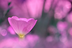 pink delicious (C-Smooth) Tags: pink flower color lady bokeh csmooth stefanocabello